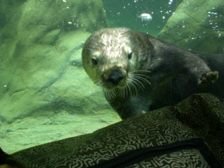 Seaotter2